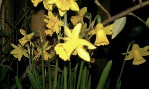 night narcissus